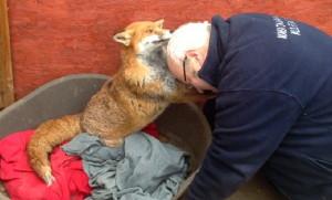 Ecco la verità sul video della volpe che ringrazia chi l'ha salvata
