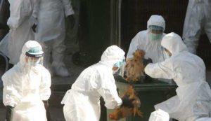Influenza aviaria, scoperti focolai nella zona di Ferrara: stop importazione di pollame